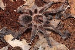 Phormictopus atrichomatus (2 cm)