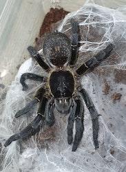 harpactira sp black 4 cm
