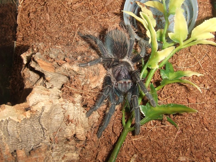 phormictopus sp full green 7 cm