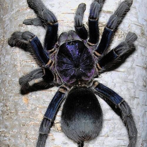 phormictopus sp dominican purple 5 cm