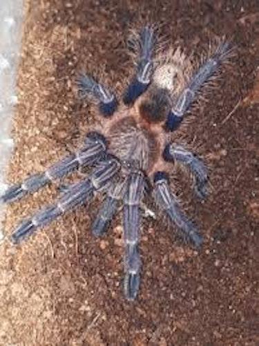 Hommeoma sp blue L2