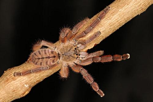 Phormingochilus sp rufus L2
