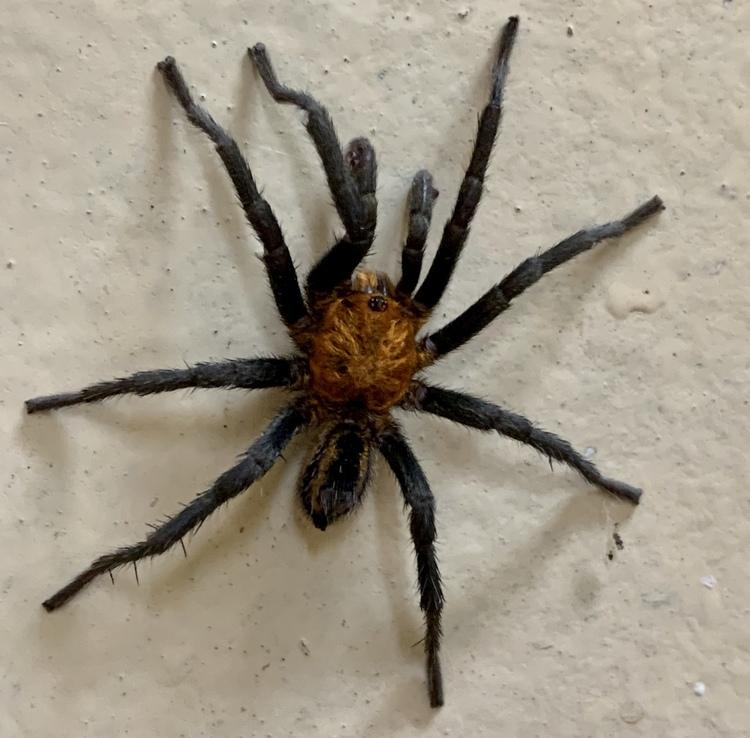 holothele longipes 1 cm