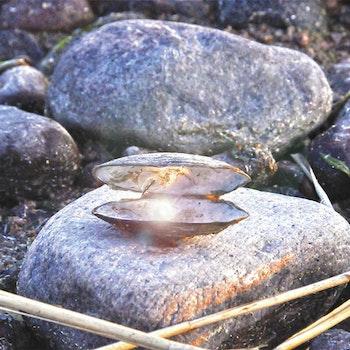 Pärla i mussla foto Cicci Wik