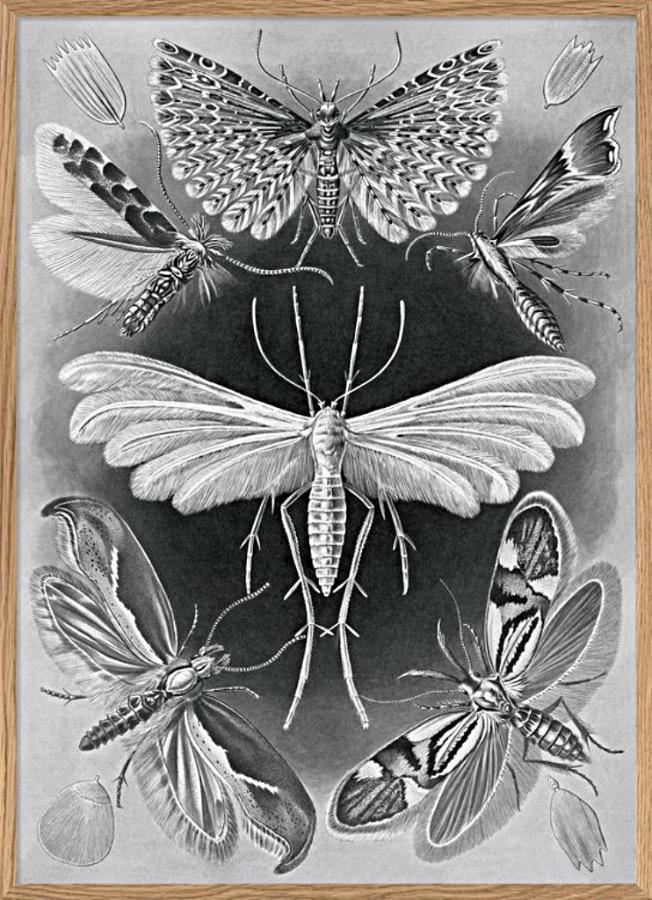 Alucita, Natures Art Form 50 x 70 cm. Alucita, största malen av denna sort ser läskigt vacker ut i gråskala. Omgiven av vingar med alla dess mönster.  50x70cm, The Arni Concept