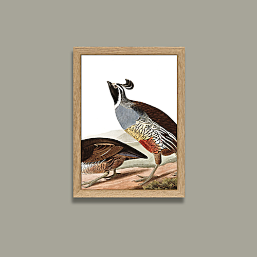 The Californian Partridge - Mini Print