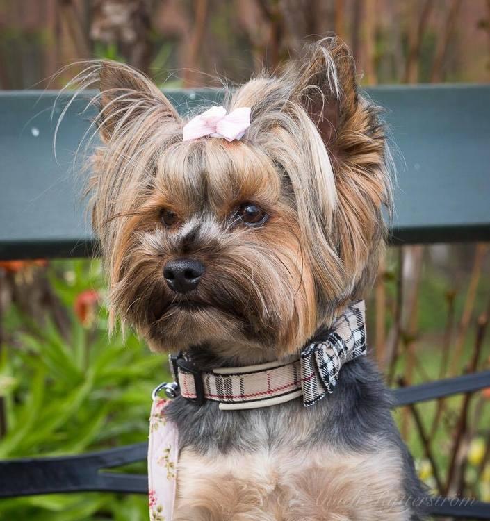 Hundhalsband-rosett