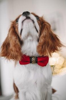 Halsband Bow-tie, Red Elegance
