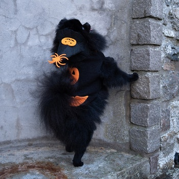 Halloweenhatt katt/hund