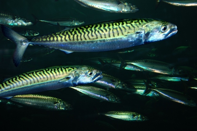 Fisketips 1