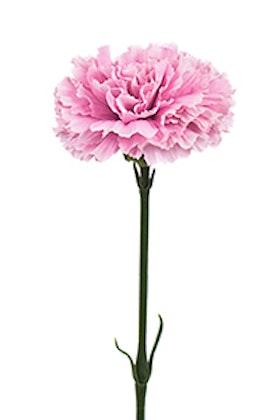 Nejlika - Rosa - 55 cm
