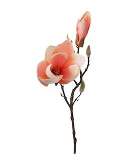 Magnolia - Kvist - Aprikos - 40 cm