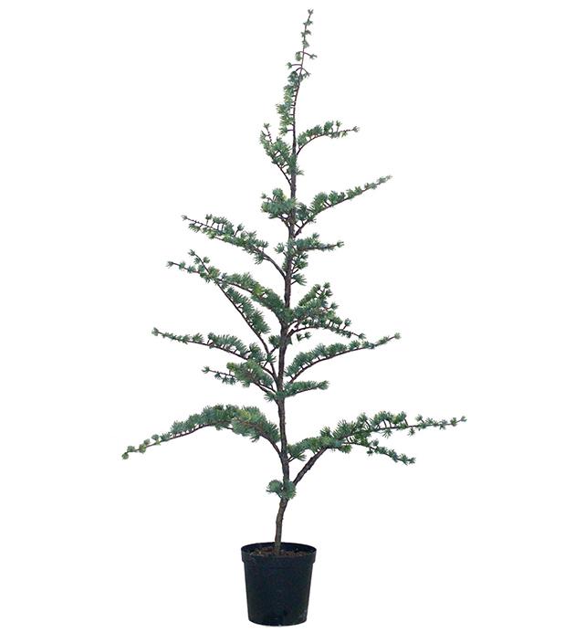 Cederträd - 80 cm