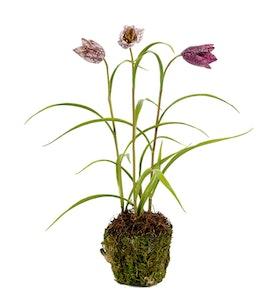 Frittalaria - 30 cm