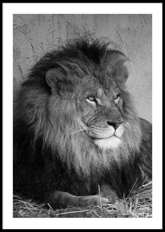 Lion Portrait - Poster