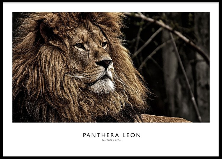 Lion Portrait Poster