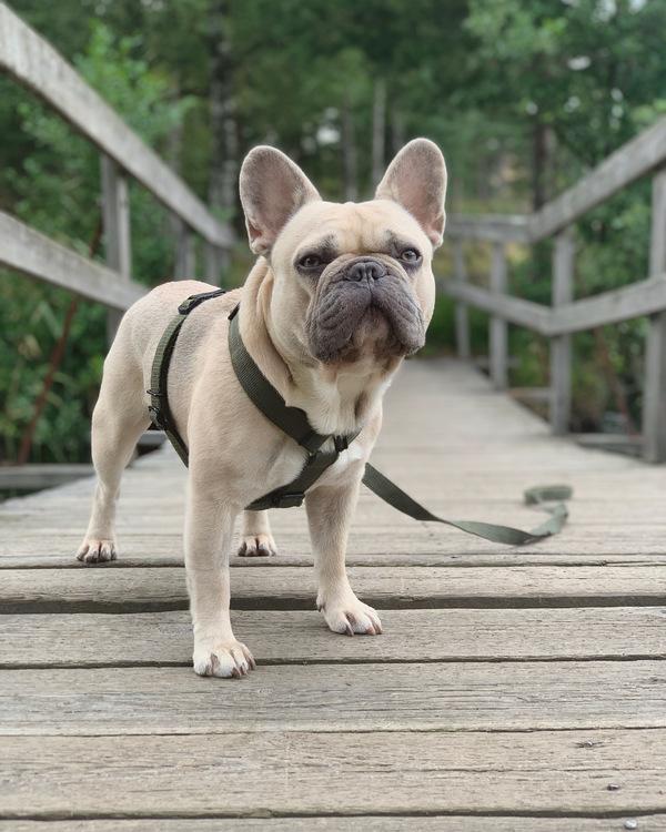 Easy Comfort Grey- grå hundsele