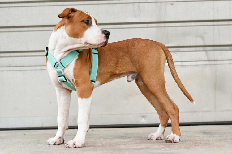 Easy Comfort Beige - beige hundsele