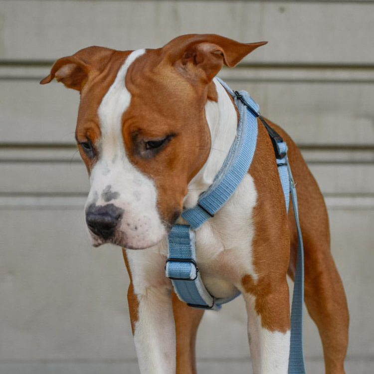Easy Comfort Baby Blue - ljusblå hundsele