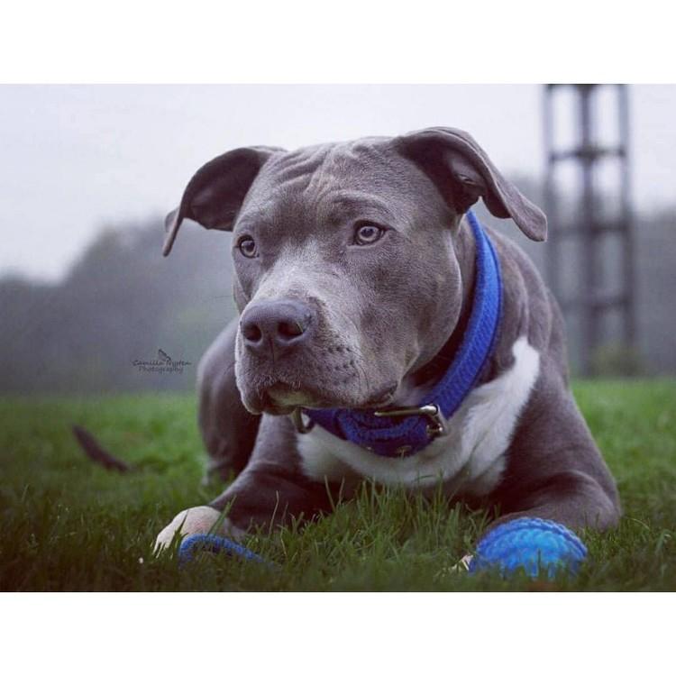 Grip Blue - brett blått hundhalsband med handtag
