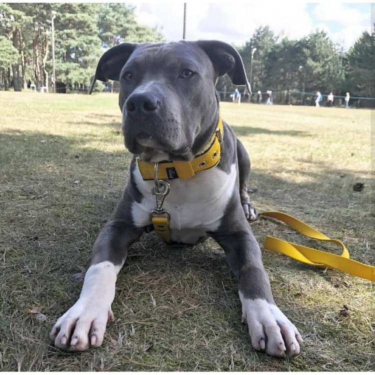 Grip Yellow - brett gult hundhalsband med handtag