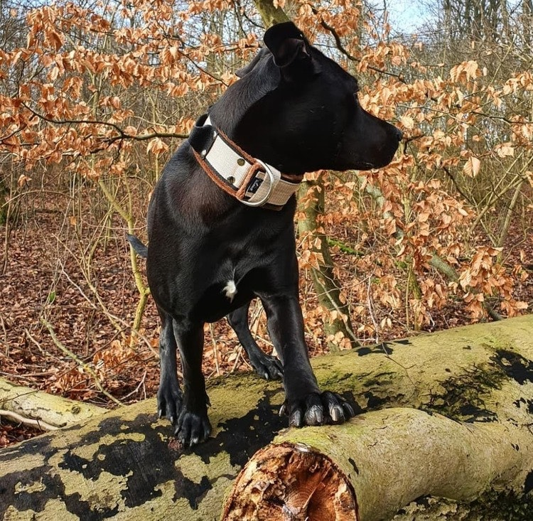 Grip Beige - brett beige hundhalsband med handtag