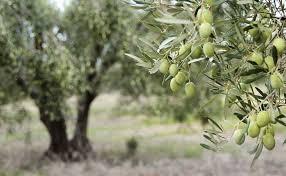 Manzanilla oliver urkärnade