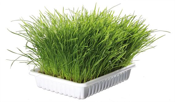 Mjukt kattgräs vitaminberikad, ca.100 g