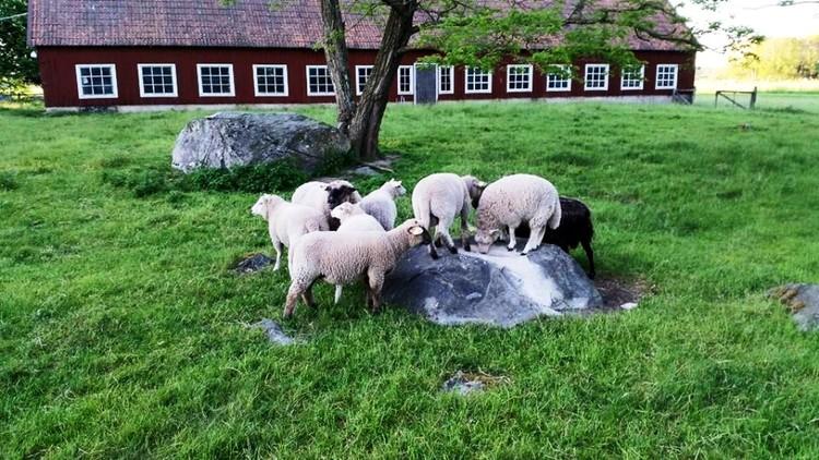 Lammlåda 8 kg, gräsuppfött!