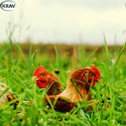 Ekologisk REKO-Kyckling KRAV