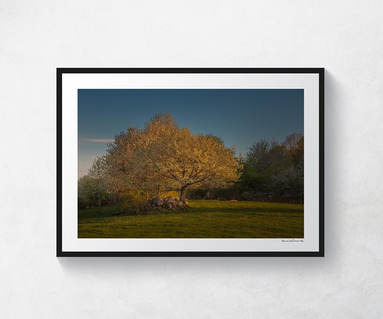 Körsbärsträd Valle 1