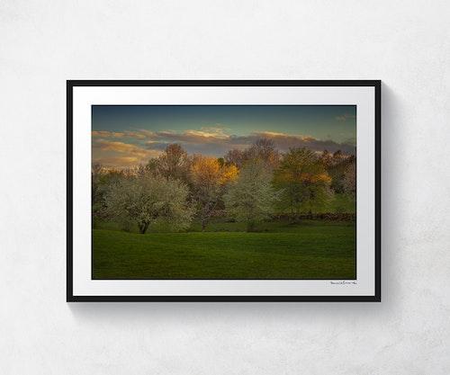 Körsbärsträd Valle 2