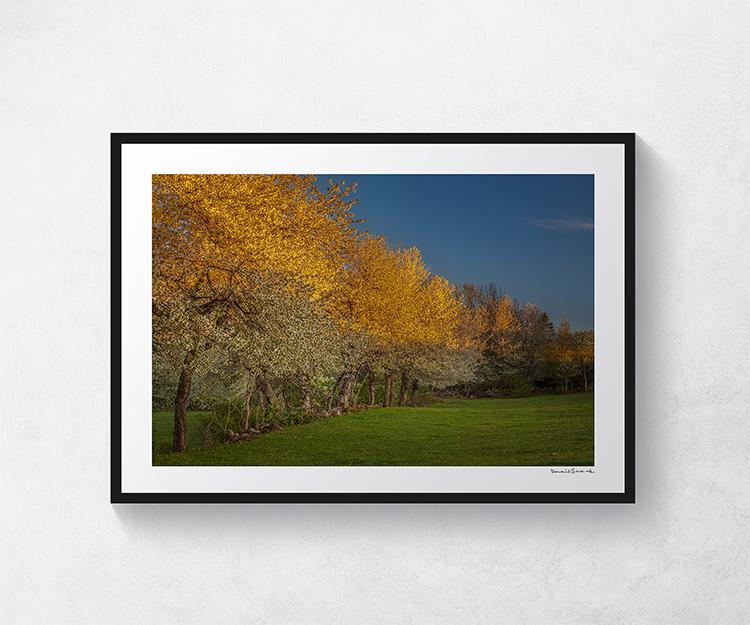 Körsbärsträd Valle 3