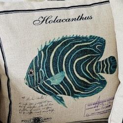 Kuddfodral - Holacanthus