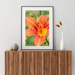 Posters - Orange Lilja