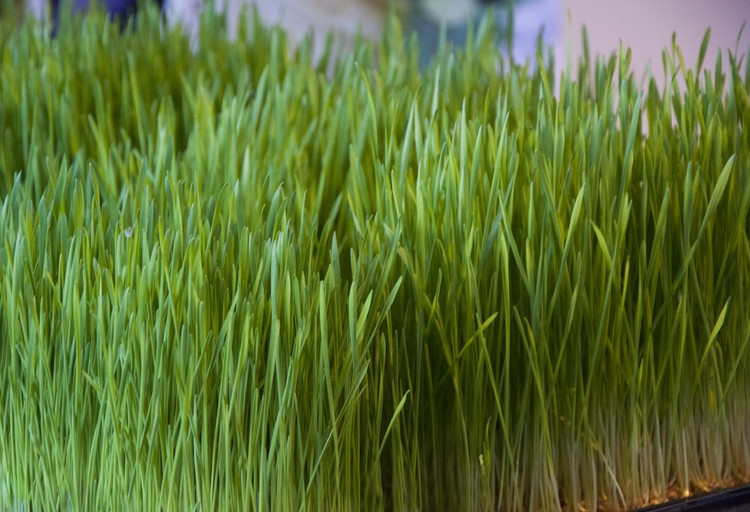 Ekologiska Vetefrön 500g - 3kg
