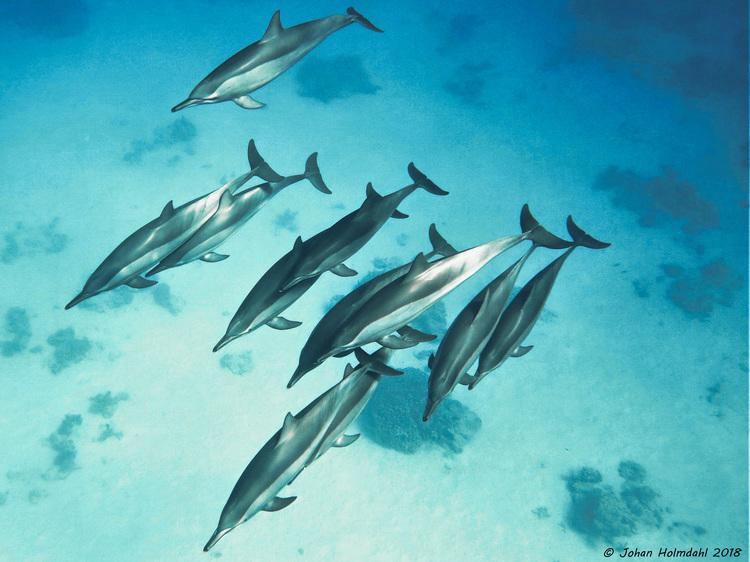 Spinner Dolphins - Egypt 2018
