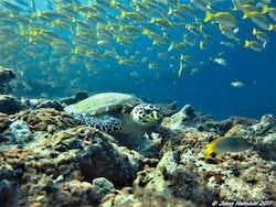 Hawksbill Sköldpadda - Maldiverna 2017