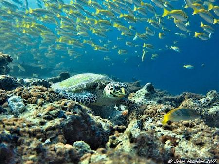 Hawksbill Turtle - Maldives 2017