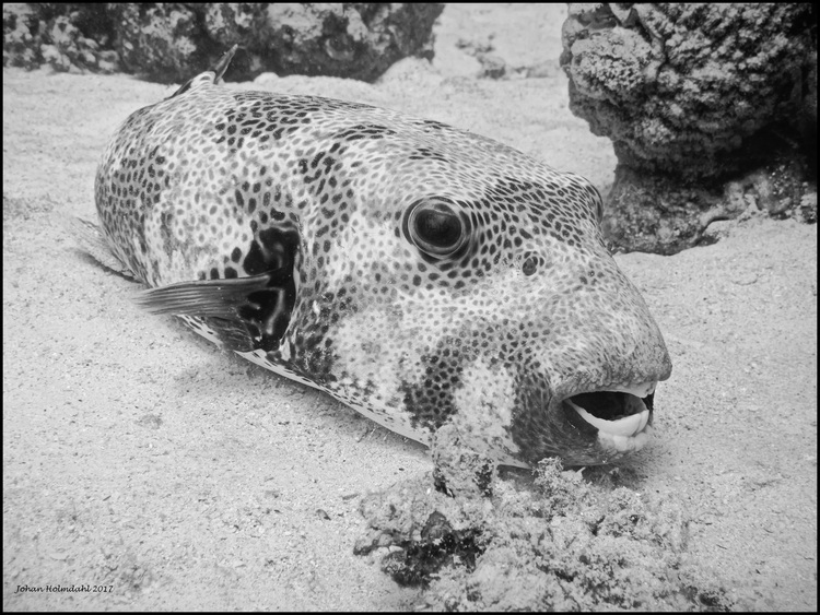 Pufferfish - Egypt 2017