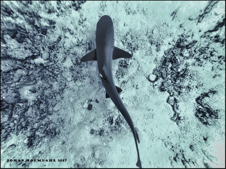 Whitetip Reef Shark - Maldives 2017