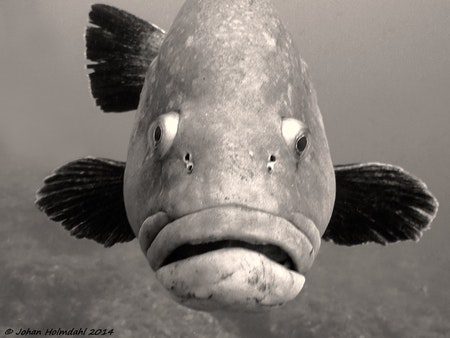 Grouper - Medes Islands 2014