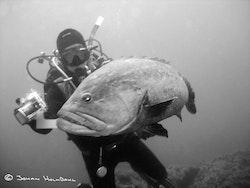 Dykare och Dunkel Havsabborre - Medes öar 2014