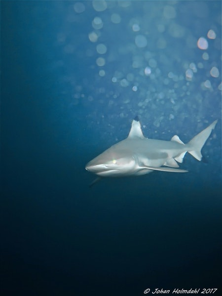Blacktip Reef Shark - Maldives 2017