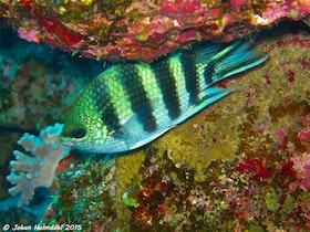 Scissortail Sergeant fisk - Egypten 2015