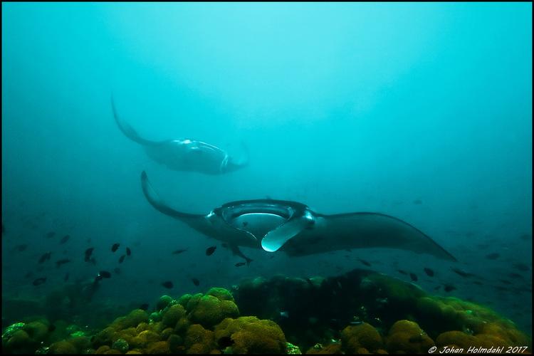 Giant Manta Rays - Maldives 2017