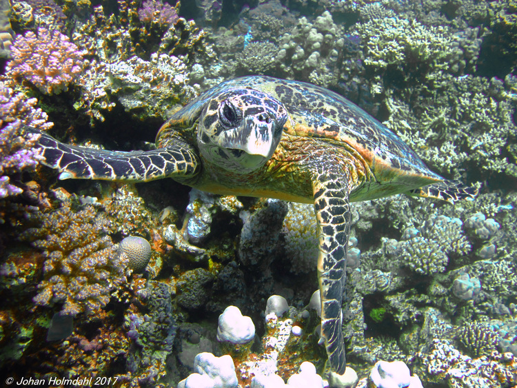 Hawksbill Turtle - Egypt 2017