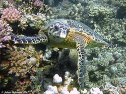 Hawksbill Sköldpadda - Egypten 2017