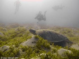 Grön Sköldpadda och dykare - Egypten 2017