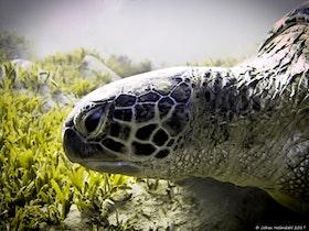 Närbild Grön Sköldpadda - Egypten 2017